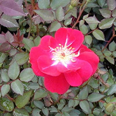 1 Gallon Plant Martha Gonzales Scarlet Red Rose Bush Shrubs Plant Roses Outdoor Gardening tktreas : Garden & Outdoor