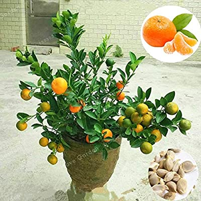 Kasuki 30 Pcs Citrus Reticulata Bonsai Potted Edible Organic Orange Fruit Bonsai Dwarf Standing Orange Tree Bonsai Indoor Plant in Pot: Garden & Outdoor