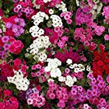David's Garden Seeds Flower Phlox Annual Mix SL8224 (Multi) 500 Non-GMO, Open Pollinated Seeds