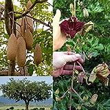 5 Seeds - Kigelia africana pinnata - Saugage Tree