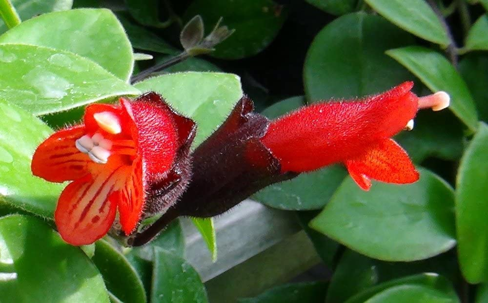Amazon Com Mona Lisa Lipstick Plant 4 Pot Aeschynanthus Easy