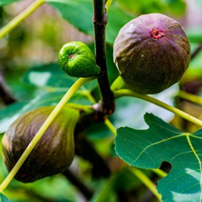 Fig Brown Turkey, considered one of The tastiest and Best Growing Variety (3 Gallon) : Garden & Outdoor