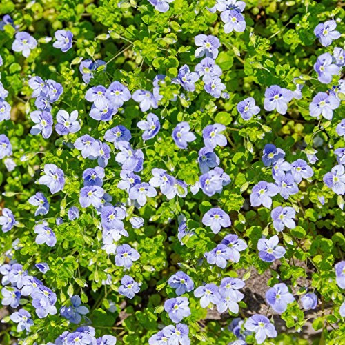 Outsidepride Creeping Speedwell Ground Cover Plant Seed - 1000 Seeds