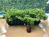 Juniper Procumbens Nana Qty 30 Live Plants Groundcover