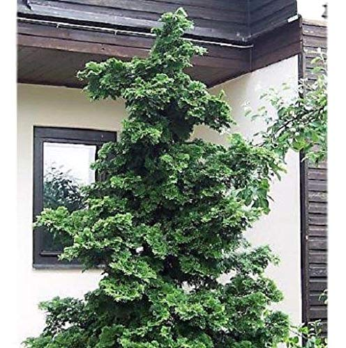 Slender Hinoki False Cypress - Live Plant - Trade Gallon Pot