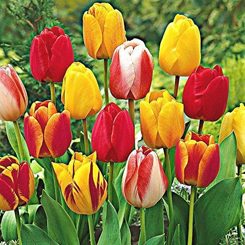 Humphreys Garden Darwin Hybrid Tulip Tulipe Mixte x 30 bulbs Bulbes