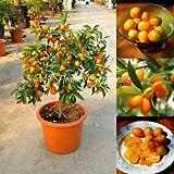 Best-Selling!30pcs/Bag Balcony Patio Potted Fruit Trees Planted Seeds Kumquat Seeds Orange Seeds Tangerine Citrus f47