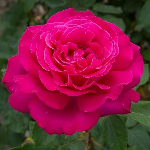 Fiori Grandi.1 Pianta Di Rosa Velasquez A Fiori Grandi In Vaso 19cm Meilland
