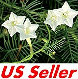 25 PCS Seeds of White Cypress Vine Flowers G51, Garden Perennial Flowers