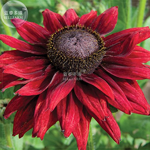 Hot Sale Gimax Dark Red Echinacea 6-Layer Big Blooms Bonsai Flowers, 100 pcs 'Seeds', Light Fragrant Coneflowers for Home Garden Plant