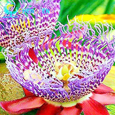 Loss Promotion! 20 Seeds Passion Fruit Seeds Passiflora Caerulea Fresh Fragrant Bloom Huge Flower Plants For Garden Rare Watch Pot seeds of change