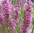 25g Verbena? Verbena Officinalis Erect Perennial Herb Seeds