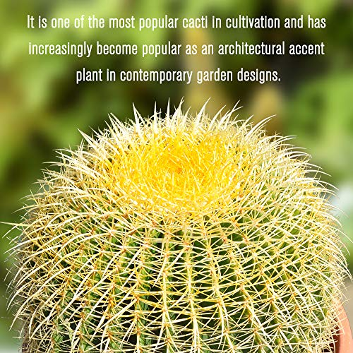 Golden Barrel' 14'' Plus Echinocactus Grusonii Cactus Specimen Very Large Drought Tolerant Plant by THE NEXT GARDENER (Image #2)
