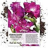 Seed Needs, Pink Ruffled Morning Glory (Ipomoea purpurea) 100 Seeds Untreated