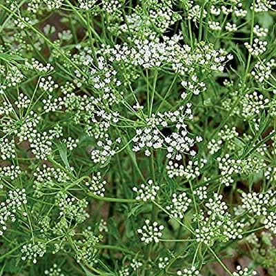 AchmadAnam - 1, 000 Seeds - Anise Seeds Spice Seeds Herb Seeds. E1 : Garden & Outdoor