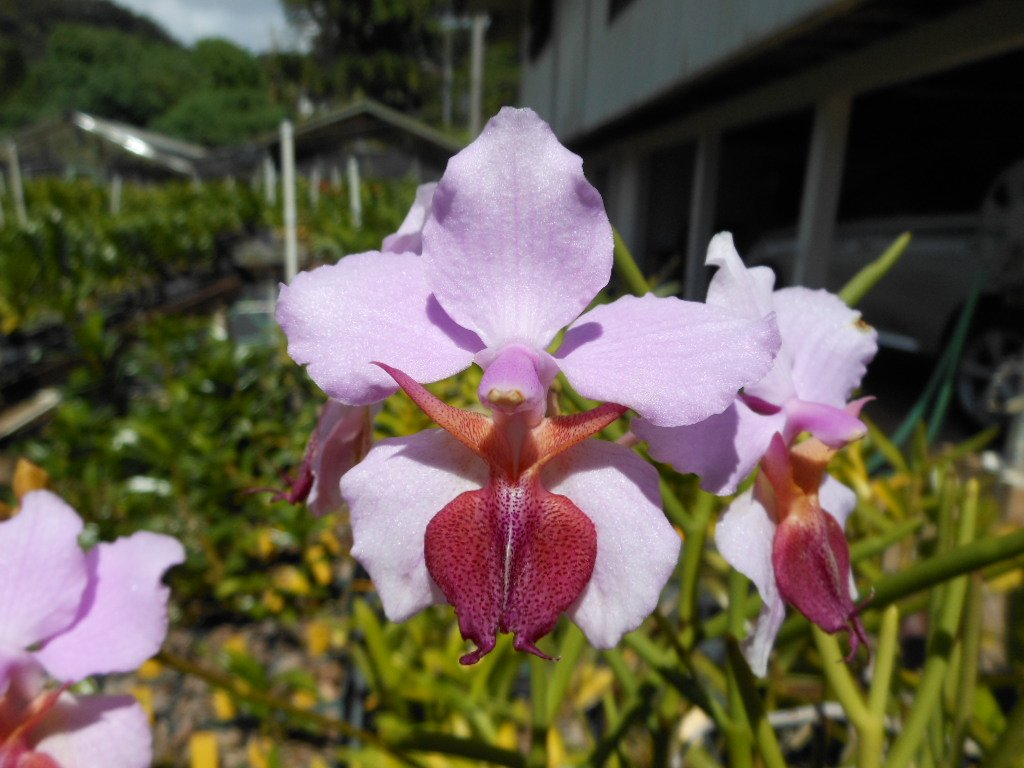 Vanda tricuspidata -Hard to Find terete! Limited Stock! Collector's Item! orchid plant by Kawamoto Orchid Nursery (Image #1)