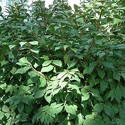 20+ Seeds Burning Bush Euonymus Alatus : Garden & Outdoor