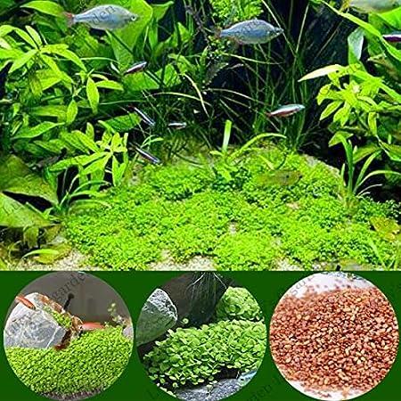 Graine Dichondra des Graines Seeds 50Pcs Dichondra Pistia /Étang De Jardin De Plantes Aquatiques Aquarium Piscine D/écoration