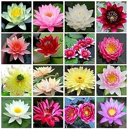 White Lotus Flower Seeds Bonsai Aquatic Plants Bowl Lotus 9 seeds