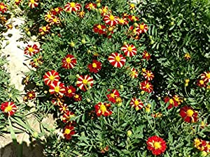 Anuual Tagetes Patula (French Marigold) Single-flowered Red Stripe 300 Seeds