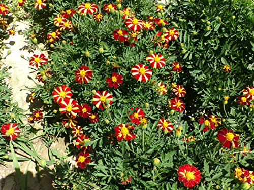 anuual-tagetes-patula-french-marigold-single-flowered-red-stripe-300-seeds