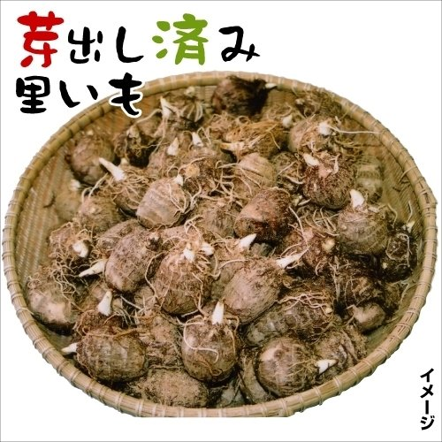 芽出し里芋(種芋)
