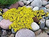 Sedum-acre Golden Carpet, Yellow Stonecrop Ground Cover Flower Seeds- 500 Seeds