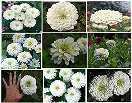 Amazon white snowball annual zinnia flowers 25 seeds white snowball annual zinnia flowers 25 seeds mightylinksfo