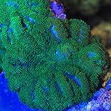(海水魚 サンゴ)沖縄産 ディスクコーラル ディープグリーン Sサイズ(1個) 本州・四国限定[生体]