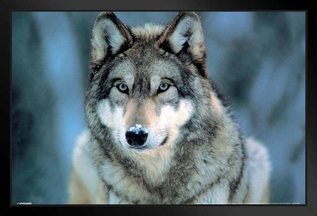 Pyramid America Grey Wolf Wild Animal Face Portrait Nature Photo Black Wood Framed Art Poster 14x20