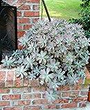 Ghost Plant, Graptopetalum paraguayense, Succulents, 4in potted plants
