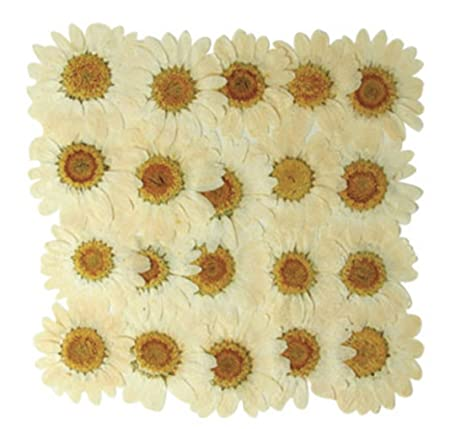 Pressed Real Dried Flowers White Marguerite Daisy 20 Pieces For