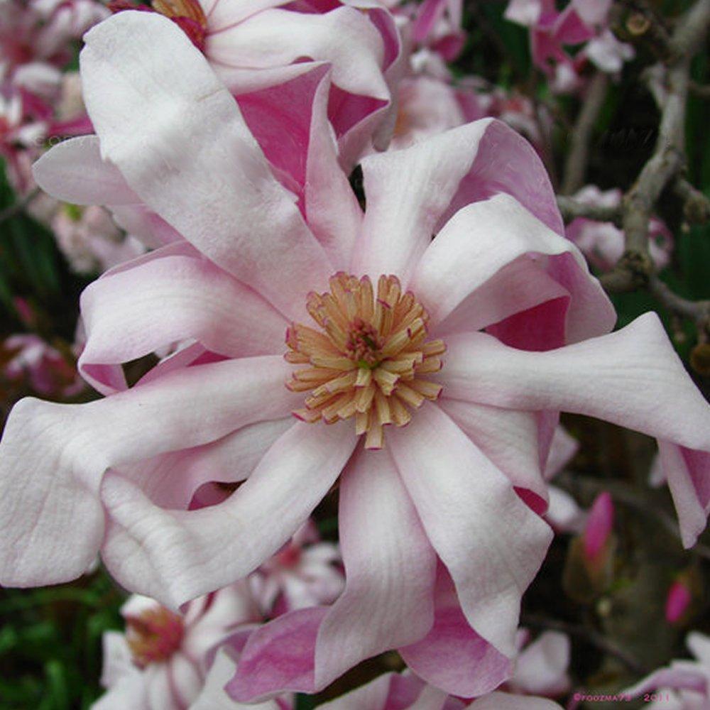 1 X MAGNOLIA STELLATA 'ROSEA' STARRY MAGNOLIA DECIDUOUS SHRUB HARDY PLANT IN POT Gardener's Dream
