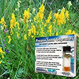 Dyer's Broom Seeds (Genista tinctoria) 10+ Rare Dyeplant Herb Seeds + FREE Bonus 6 Variety Seed Pack - a $29.95 Value! Packed in FROZEN SEED CAPSULES for Growing Seeds Now or Saving Seeds for Years