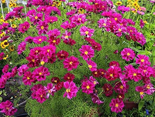 - SVI bipinnatus Flower Seeds everblooming Flowers (13 Packets) Garden Plant Seeds by