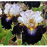 (20) Bearded Iris Pretty Flowering Mix, Seeds