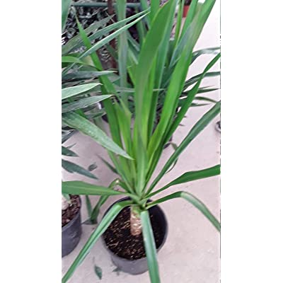 AchmadAnam - Live Plant - Dracaena arborea - 1 Plants - 2 to 3 Feet Tall - Ship in 3 Gal Pot. E9 : Garden & Outdoor