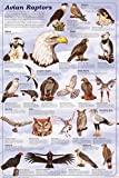 Avian Raptors Birds Of Prey Educational Science Chart Poster 24 x 36in