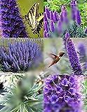 Echium Fastuosum Candicans rare Pride of Madeira purple flowers exotic 50 seeds
