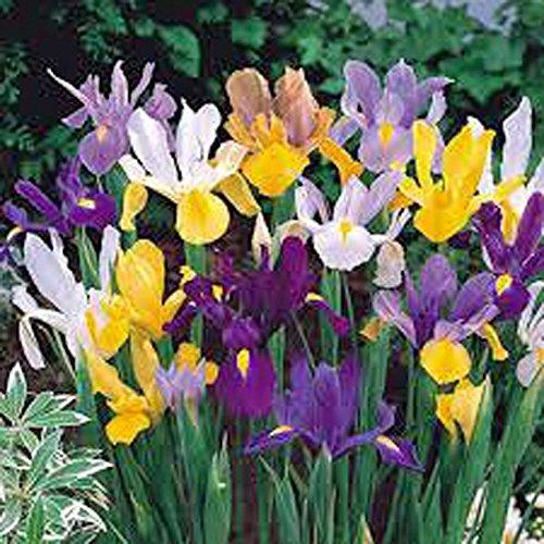 Dutch Grow Iris - Iris, Bulb (20 Pack) Dutch Mix, Perennial Iris Bulbs, Flowers