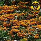SILKOAK TREE Grevillea Robusta - 50+ SEEDS
