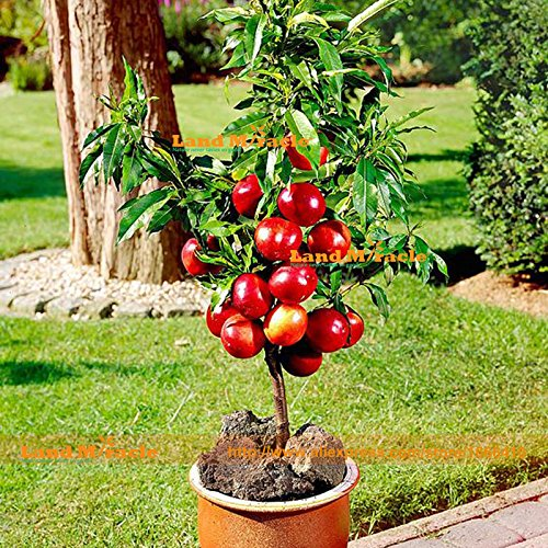 Bonsai Dwarf Red Tree Seeds, 20 Seeds/Pack, Very Delicious Fruit Tree Seeds Easy to grows! SUVERAAN