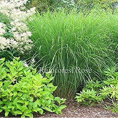 Miscanthus Gracillimus 38 Ornamental Grasses Wholesale lot Zone 5-10 : Garden & Outdoor
