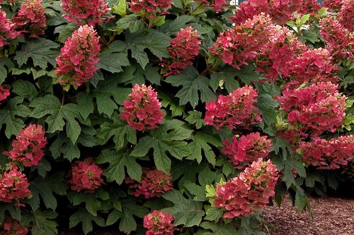 Ruby Slippers Oakleaf Hydrangea - Hardy Perennial Heavy Rooted - One Trade Gallon Pot - 1 Plant by Growers (Pinky Winky)
