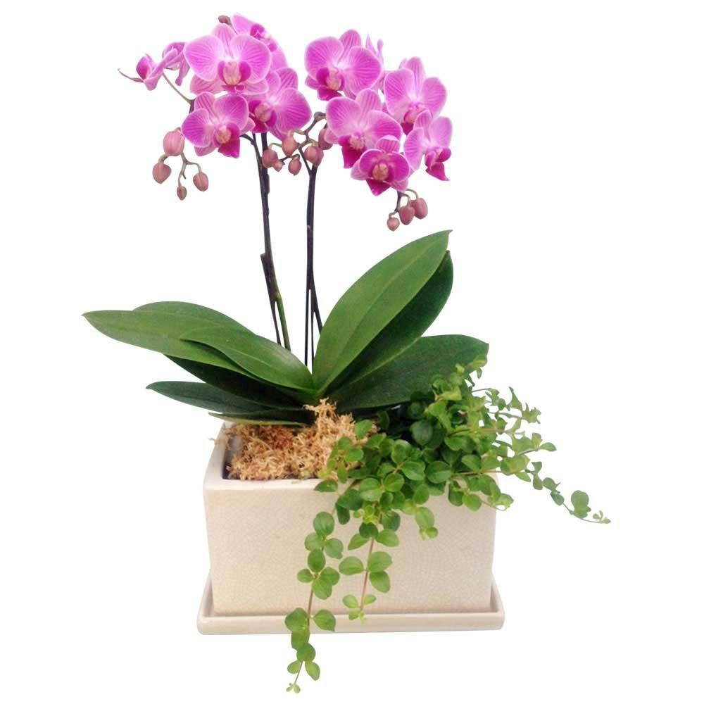 胡蝶蘭 ギフト シルバー舟形鉢 5.5号鉢 3本立 ピンク/ラッピング&メッセージ無料花のプレゼント 生花 (ピンク6) B07CPQSGZH  ピンク6