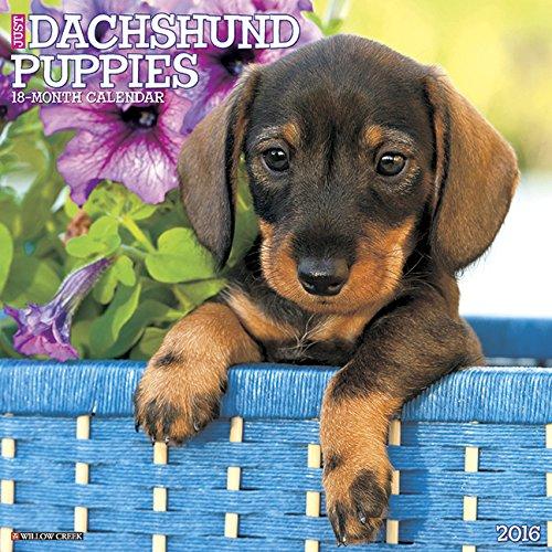 2016 Just Dachshund Puppies Wall Calendar