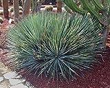 10 Seeds Agave striata ssp. falcata (Blue) Ornamental Plant