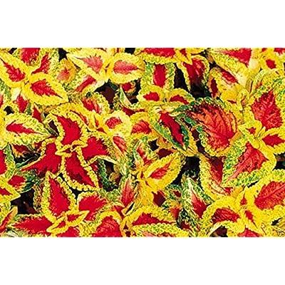 Coleus Wizard Pastel 100 Seeds (Solenostemon scutellarioides) - Very Colourful : Garden & Outdoor