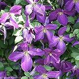"""Happy Jack TM Purple Clematis - 4"""" pot - Proven Winners"""