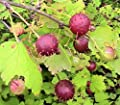 10 Eastern Prickly Gooseberry Seeds -FRESH 2016 HARVESTED